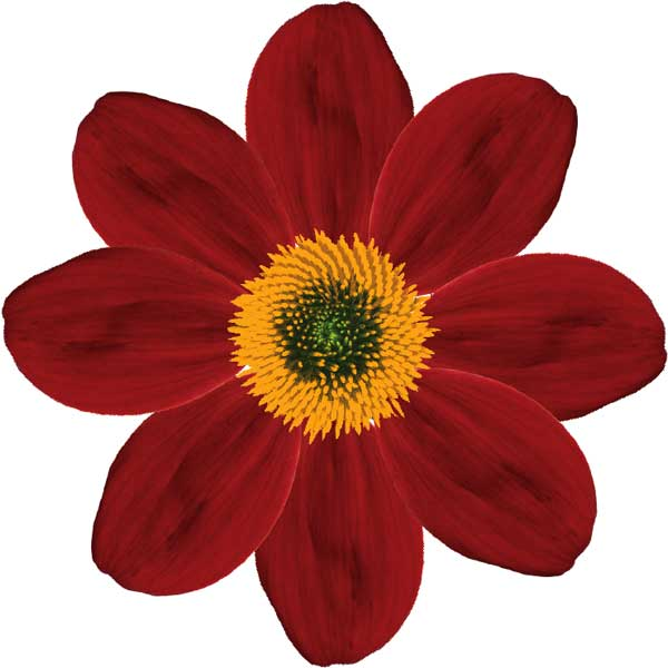 Single-flowered dahlia